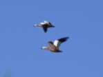 lRuddy Shelduck1.jpg